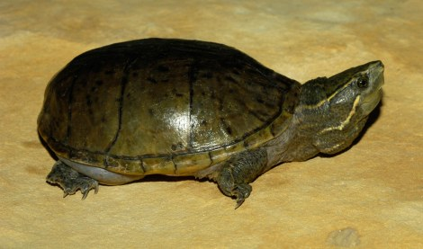 Common Musk Turtle